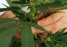 México, a la vanguardia con legalización de mariguana